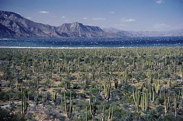 Cardon (Pachycereus pringlei) cactus in desert, Rosario, Baja California, Mexico  -  Michael & Patricia Fogden