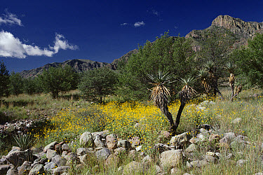 Summer flowers in the Chihuahuan Desert, Mexico  -  Michael & Patricia Fogden