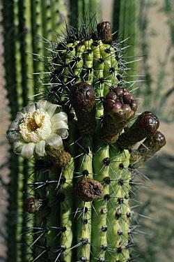 Organ Pipe Cactus (Stenocereus thurberi) flowering in the Sonoran Desert, USA and Mexico  -  Michael & Patricia Fogden