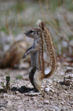 Cape Ground Squirrel (Xerus inauris) standing upright, using tail as a sunshade, Etosha National Park Namibia  -  Michael & Patricia Fogden