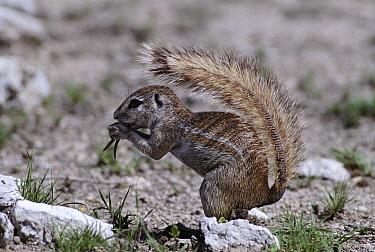 Cape Ground Squirrel (Xerus inauris) eating, using tail as a sunshade, Etosha National Park Namibia  -  Michael & Patricia Fogden