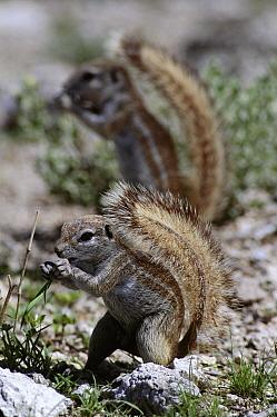 Cape Ground Squirrel (Xerus inauris) pair eating, using tail as a sunshade, Etosha National Park Namibia  -  Michael & Patricia Fogden
