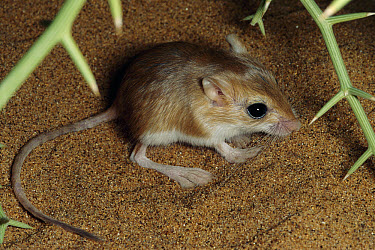 Hair-footed Pygmy Gerbil (Gerbillurus tytonis) in desert under spiny Nara thicket, Namib Desert dunes Namibia  -  Michael & Patricia Fogden
