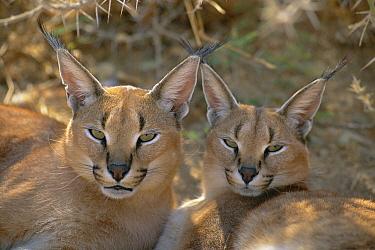 Caracal (Caracal caracal) captive pair, Harnas Wildlife Sanctuary, Namibia  -  Michael & Patricia Fogden