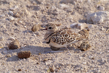 Double-banded Courser (Rhinoptilus africanus) shading its egg which is camouflaged among antelope droppings, Etosha National Park, Namibia  -  Michael & Patricia Fogden