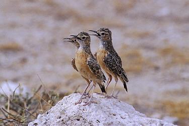 Spike-heeled Lark (Chersomanes albofasciata) three panting to stay cool, Etosha National Park, Namibia  -  Michael & Patricia Fogden