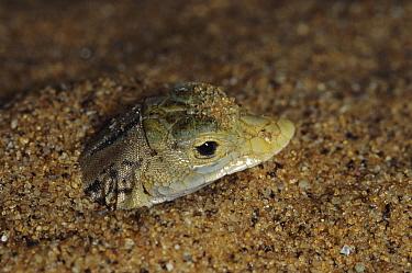 Namib Sanddiver (Aporosaura anchietae) buries itself in sand to escape heat and predators, Namib Desert, Namibia  -  Michael & Patricia Fogden