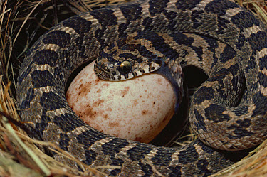 Common Egg-eating Snake (Dasypeltis scabra) swallowing egg from another animal's nest, savannah, South Africa  -  Michael & Patricia Fogden