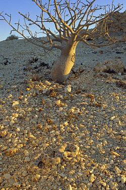 Horned Adder (Bitis caudalis) venomous snake camouflaged against gravel plains in the Namib Desert, Namibia  -  Michael & Patricia Fogden
