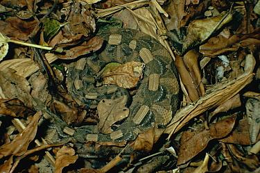 Gaboon Viper (Bitis gabonica) venomous snake camouflaged in leaf litter in the rainforest, Congo, Uganda  -  Michael & Patricia Fogden