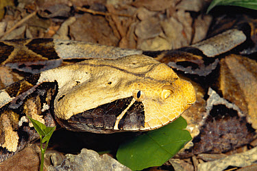 Gaboon Viper (Bitis gabonica) venomous snake camouflaged in leaf litter in the rainforest, Congo, Uganda  -  Michael & Patricia Fogden