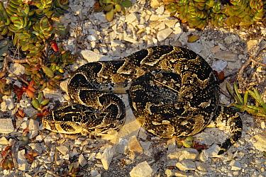Puff Adder (Bitis arietans) venomous snake on the savannah, Africa  -  Michael & Patricia Fogden