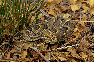 Puff Adder (Bitis arietans) venomous snake camouflaged against ground, Waterberg National Park, Namibia  -  Michael & Patricia Fogden