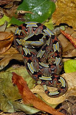 Rhinoceros Adder (Bitis nasicornis) venomous snake on rainforest floor, Africa  -  Michael & Patricia Fogden