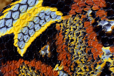Rhinoceros Adder (Bitis nasicornis) detail of colorful pattern and scales of venomous snake, rainforest, Africa  -  Michael & Patricia Fogden