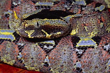 Rhinoceros Adder (Bitis nasicornis) close-up portrait of venomous snake, rainforest, Africa  -  Michael & Patricia Fogden