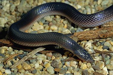 Bibron's Stilleto Snake (Atractaspis bibronii) portrait, southern Africa  -  Michael & Patricia Fogden