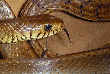 Oriental Rat Snake (Ptyas mucosus) portrait, sensing with tongue, India  -  Michael & Patricia Fogden