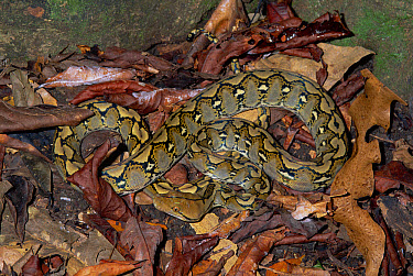 Reticulated Python (Python reticulatus) camouflaged in leaf litter in rainforest, Tangkoko-Dua Saudara Nature Reserve, Sulawesi  -  Michael & Patricia Fogden