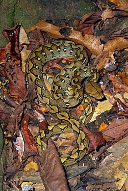 Reticulated Python (Python reticulatus) camouflaged in leaf litter in rainforest, Tangkoko Nature Reserve Sulawesi  -  Michael & Patricia Fogden