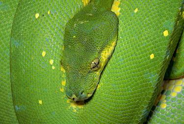 Green Tree Python (Chondropython viridis) portrait, New Guinea  -  Michael & Patricia Fogden