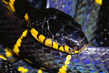 Mangrove Cat Snake (Boiga dendrophila) portrait, found in mangrove swamps of Malaysia  -  Michael & Patricia Fogden