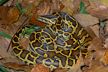 Asian Rock Python (Python molurus) captive portrait of snake camouflaged against leaf litter, found in southeast Asia  -  Michael & Patricia Fogden