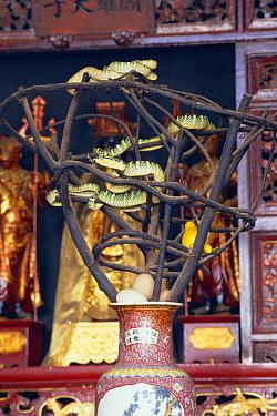 Temple Pit Viper (Trimeresurus wagleri) venomous snakes in the Penang Snake Temple, Malaysia  -  Michael & Patricia Fogden