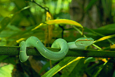 Temple Pit Viper (Trimeresurus wagleri) immature venomous snake coiled around branch in rainforest in Duniga Bone National Park, Sulawesi  -  Michael & Patricia Fogden