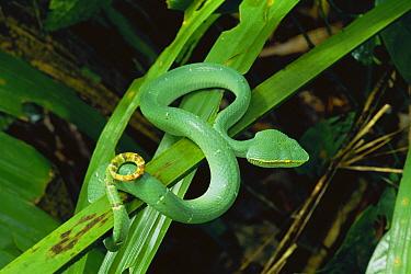 Temple Pit Viper (Trimeresurus wagleri) immature venomous snake in rainforest in Dumogo Bone National Park, Sulawesi  -  Michael & Patricia Fogden