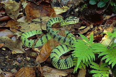 Sumatran Pit Viper (Trimeresurus sumatranus) venomous snake in lowland rainforest, Danum Valley Conservation Area, Sabah, Malaysia  -  Michael & Patricia Fogden