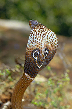Spectacled Cobra (Naja naja) venomous snake spreading hood in defensive display, India  -  Michael & Patricia Fogden