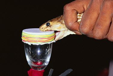 Spectacled Cobra (Naja naja) venomous snake being milked for venom, India  -  Michael & Patricia Fogden