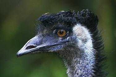 Emu (Dromaius novaehollandiae) portrait, Alice Springs, Northern Territory, Australia  -  Michael & Patricia Fogden