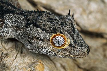 Spiny-tailed Gecko (Diplodactylus ciliaris) close-up portrait, arboreal, Cape Range National Park, Western Australia  -  Michael & Patricia Fogden