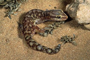 Long-fingered Gecko (Diplodactylus stenodactylus), Cape Range National Park, Western Australia  -  Michael & Patricia Fogden