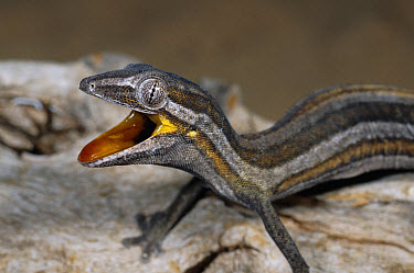 Jean's Spinytail Gecko (Diplodactylus jeanae) threat display, Cape Range National Park, Western Australia  -  Michael & Patricia Fogden