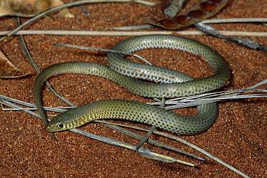 Northern Scalyfoot (Delma nasuta), Uluru-Kata Tjuta National Park, Ayers Rock, Northern Territory, Australia  -  Michael & Patricia Fogden