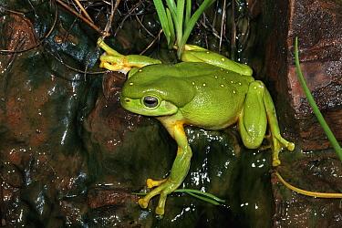 Magnificent Tree Frog (Litoria splendida) portrait in sandstone cave, Western Australia  -  Michael & Patricia Fogden