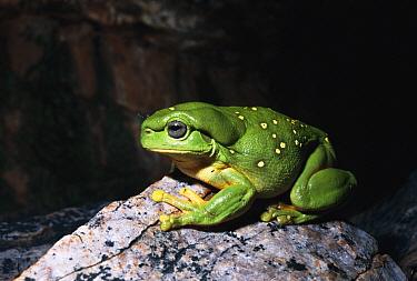 Magnificent Tree Frog (Litoria splendida) in sandstone caves, Western Australia  -  Michael & Patricia Fogden