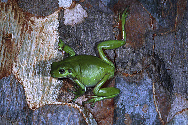 White's Tree Frog (Litoria caerulea) on Eucalyptus tree, Australia  -  Michael & Patricia Fogden