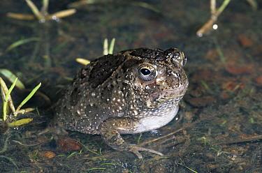 Northern Spadefoot Toad (Notaden melanoscaphus) in water in tropical grassland, Kakadu National Park, Northern Territory, Australia  -  Michael & Patricia Fogden