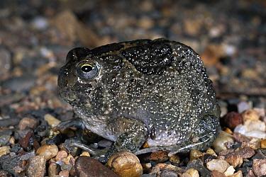 Desert Spadefoot Toad (Notaden nichollsi), Uluru-Kata Tjuta National Park, Ayers Rock, Northern Territory, Australia  -  Michael & Patricia Fogden