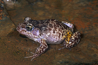 Woodworker Frog (Megistolotis lignarius ) in shallow water in cave, northern and western Australia  -  Michael & Patricia Fogden