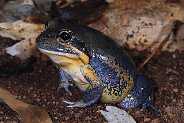 Northern Banjo Frog (Limnodynastes terraereginae) portrait, Queensland, Australia  -  Michael & Patricia Fogden