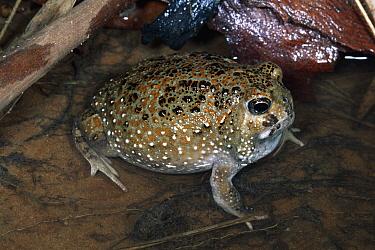 Northern Spadefoot Toad (Notaden melanoscaphus) in shallow water, Kakadu National Park, Northern Territory, Australia  -  Michael & Patricia Fogden