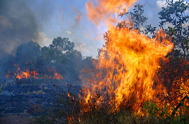 Bush fire burning in Barkly Tablelands, Northern Territory, Australia  -  Michael & Patricia Fogden
