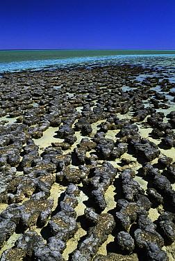Stromatolites in Hamelin pool, Shark Bay, World Heritage Center, Western Australia  -  Michael & Patricia Fogden