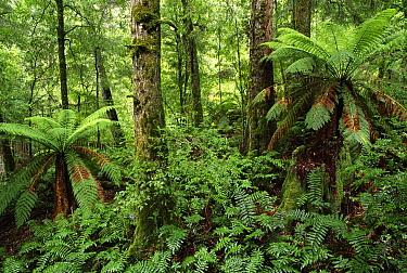Mountain-ash (Eucalyptus regnans) and Southern Beech (Nothofagus sp) in temperate rainforest, Yarra Ranges National Park, Victoria, Australia  -  Michael & Patricia Fogden