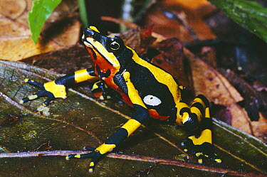Harlequin Frog (Atelopus varius) displaying warning coloration, Monteverde, Costa Rica, critically endangered  -  Michael & Patricia Fogden